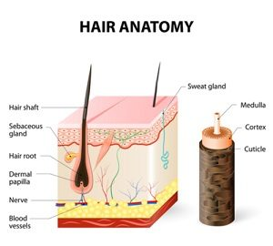 Hair anatomy heat damage